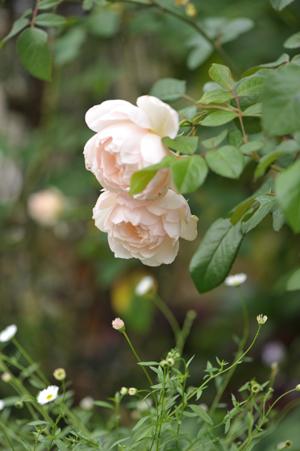 rose20151016-3.jpg