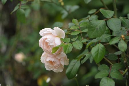 rose20151016-4.jpg