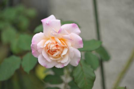 rose20151016-5.jpg