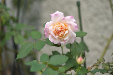 rose20151016-6.jpg