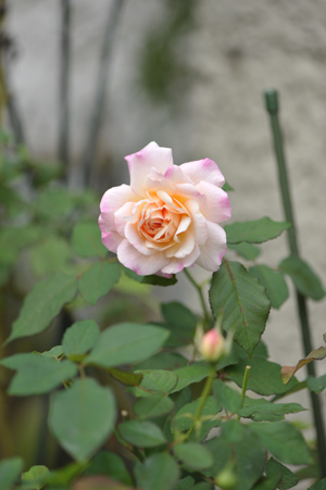 rose20151016-7.jpg