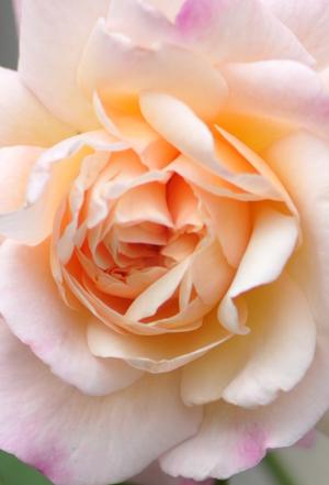 rose20151016-7a_201510162119581d0.jpg