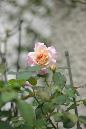 rose20151016-8.jpg