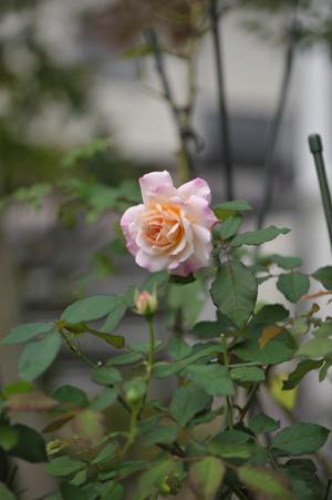 rose20151016-9.jpg