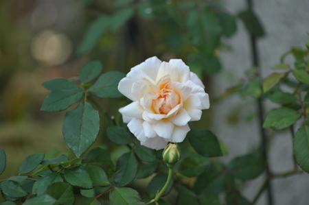 rose20151022-1.jpg