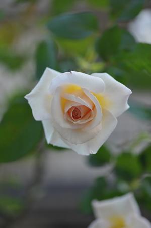 rose20151022-10.jpg