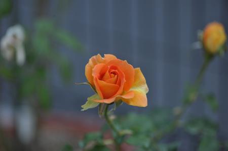 rose20151022-11.jpg