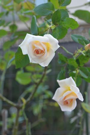 rose20151022-13.jpg