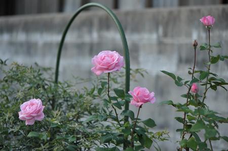 rose20151022-16.jpg