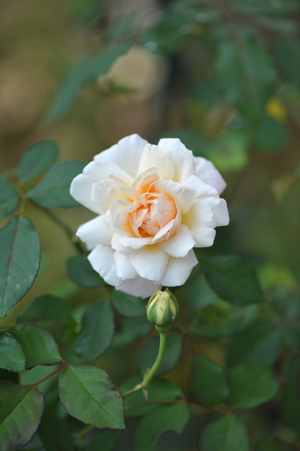 rose20151022-2.jpg