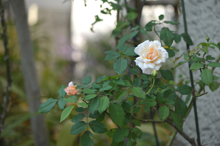 rose20151022-3.jpg
