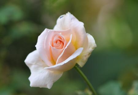 rose20151022-4.jpg
