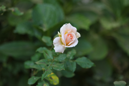 rose20151022-5.jpg