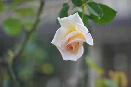 rose20151022-7.jpg