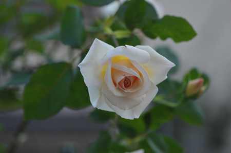 rose20151022-8.jpg