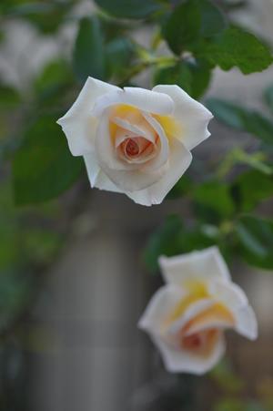 rose20151022-9.jpg