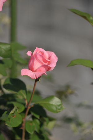 rose20151023-1.jpg