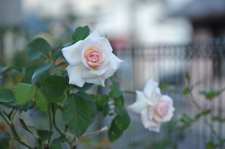rose20151023-10.jpg