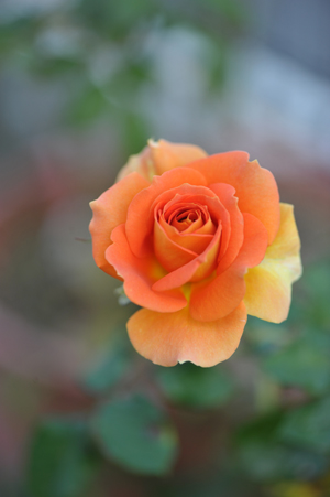 rose20151023-13.jpg