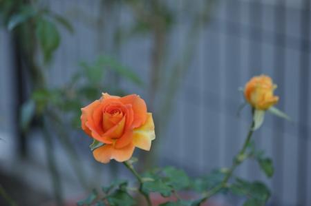 rose20151023-14.jpg