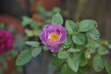 rose20151023-15.jpg