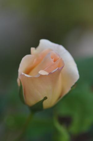 rose20151023-16.jpg