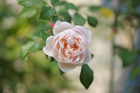 rose20151023-17.jpg