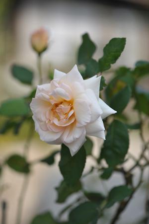 rose20151023-19.jpg