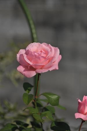 rose20151023-2.jpg