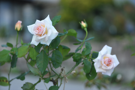 rose20151023-3.jpg