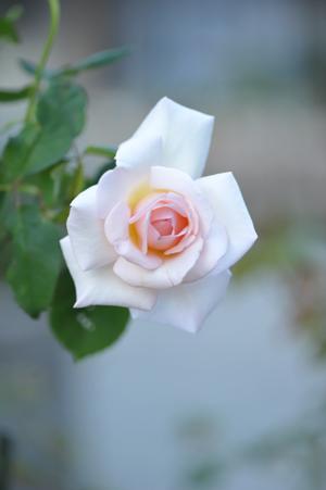 rose20151023-4.jpg