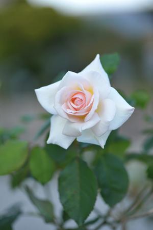 rose20151023-5.jpg
