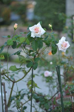 rose20151023-6.jpg
