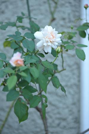 rose20151023-7.jpg
