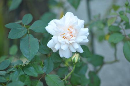 rose20151023-8.jpg