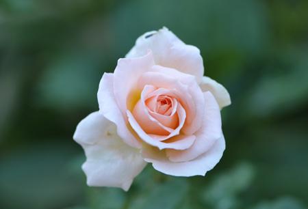 rose20151023-9.jpg