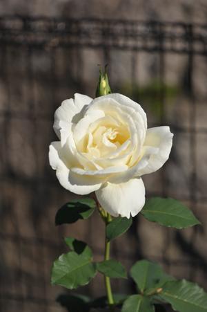 rose20151025-1.jpg