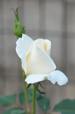 rose20151025-2.jpg