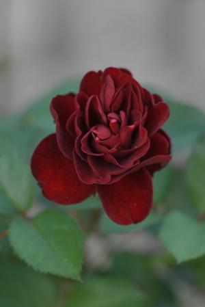 rose20151025-3.jpg