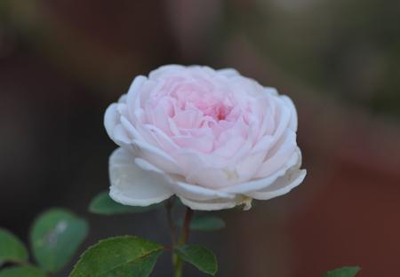 rose20151025-4.jpg