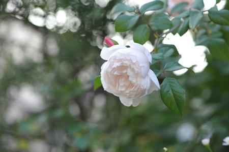 rose20151025-5.jpg