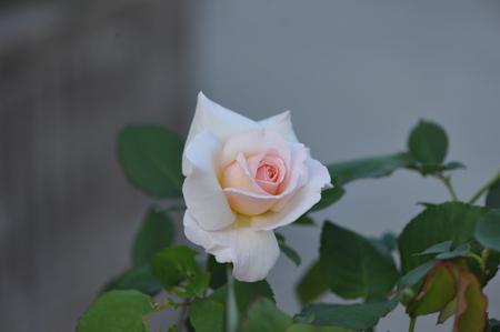 rose20151025-6.jpg