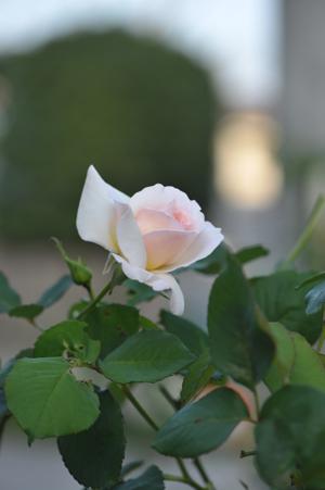 rose20151025-7.jpg