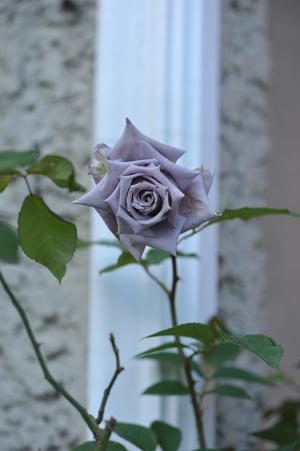 rose20151025-8.jpg