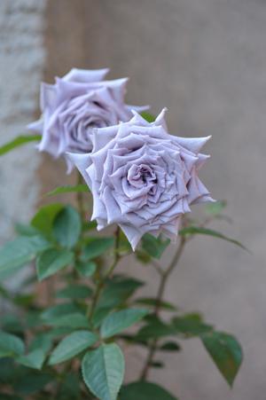 rose20151025-9.jpg