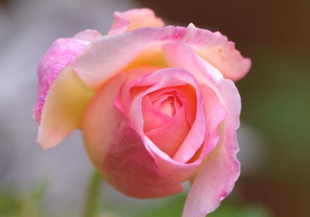 rose20151028-1a.jpg