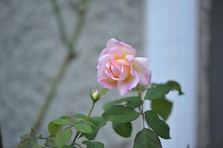 rose20151028-1b.jpg