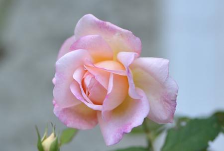 rose20151028-1c.jpg