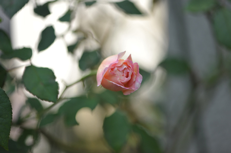 rose20151028-1e.jpg