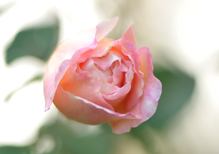 rose20151028-1f.jpg